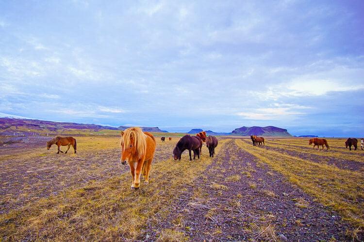 icelandic-horses (1 of 1)-2