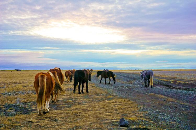 icelandic-horses (1 of 1)