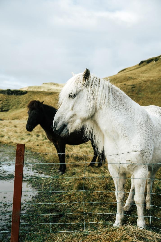Icelandic Horses - Horseback Riding Tours in Iceland